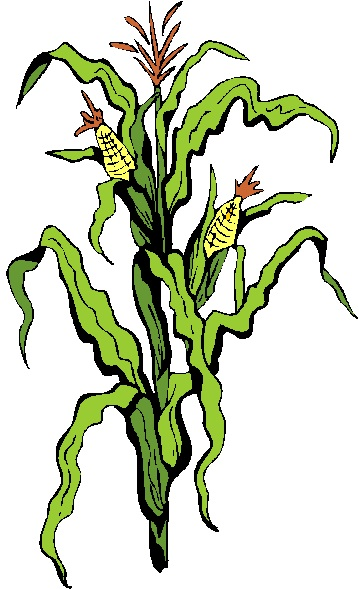 http://glutenfreeveganliving.com/wp-content/uploads/2012/10/Corn-Stalk-2.jpg